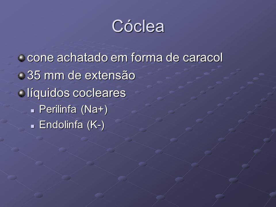 Cóclea cone achatado em forma de caracol 35 mm de extensão líquidos cocleares  Perilinfa (Na+)  Endolinfa (K-)