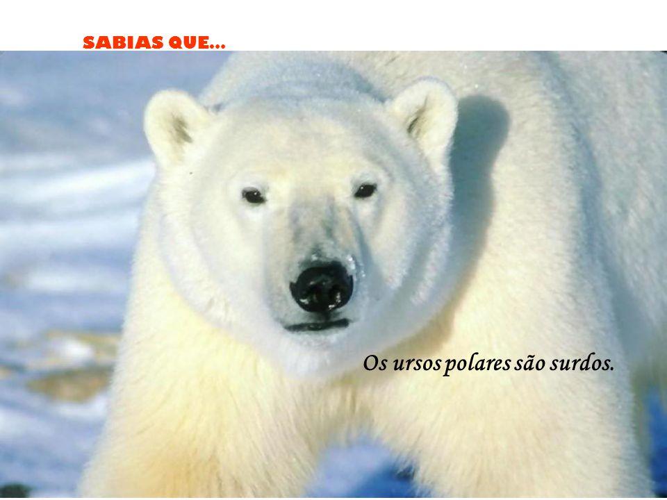 SABIAS QUE… Os ursos polares são surdos.