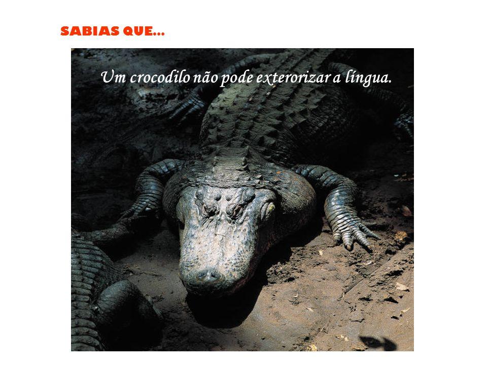SABIAS QUE… Um crocodilo não pode exterorizar a língua.
