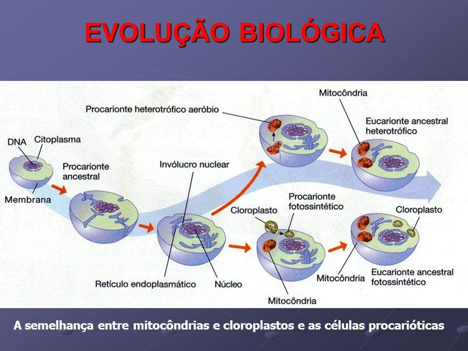 EVOLUÇÃO BIOLÓGICA A semelhança entre mitocôndrias e cloroplastos e as células procarióticas