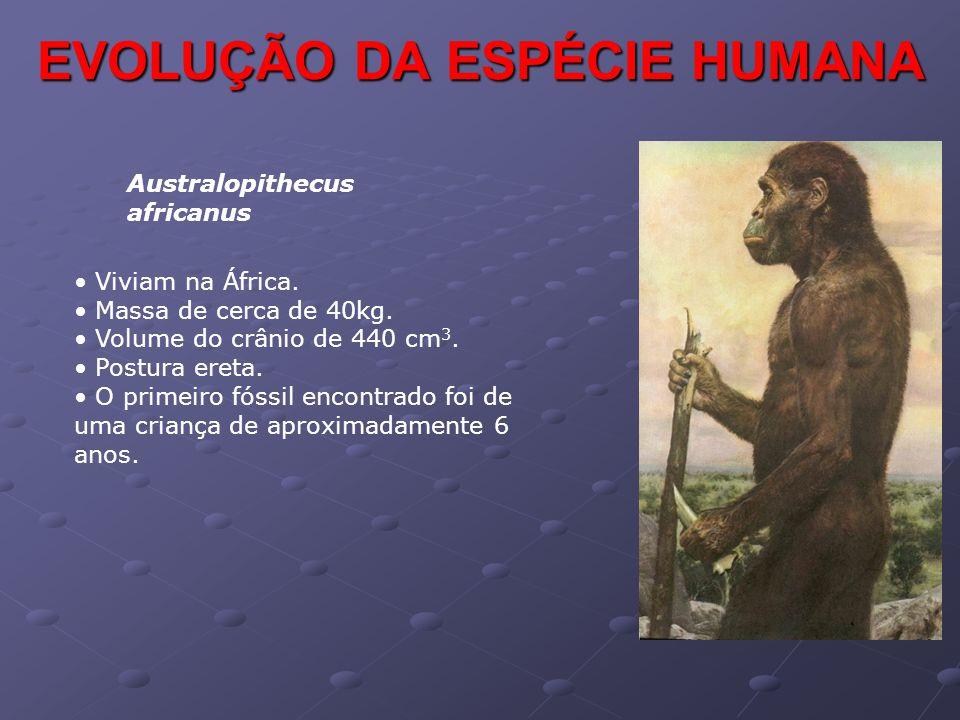 EVOLUÇÃO DA ESPÉCIE HUMANA Australopithecus africanus • Viviam na África. • Massa de cerca de 40kg. • Volume do crânio de 440 cm 3. • Postura ereta. •