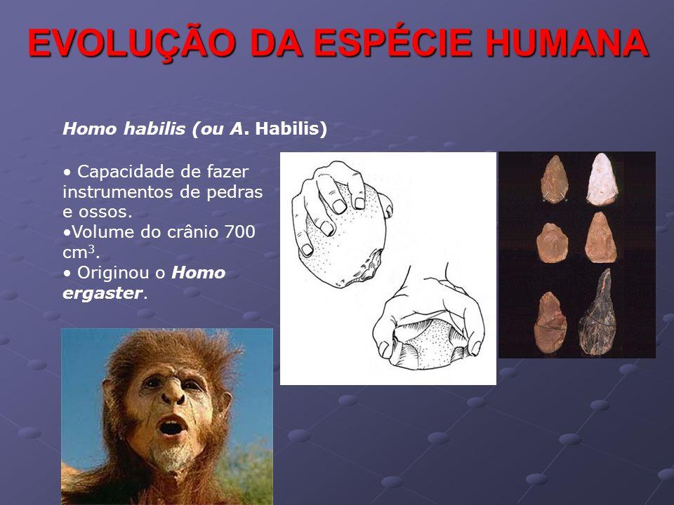 EVOLUÇÃO DA ESPÉCIE HUMANA Homo habilis (ou A. Habilis) • Capacidade de fazer instrumentos de pedras e ossos. •Volume do crânio 700 cm 3. • Originou o