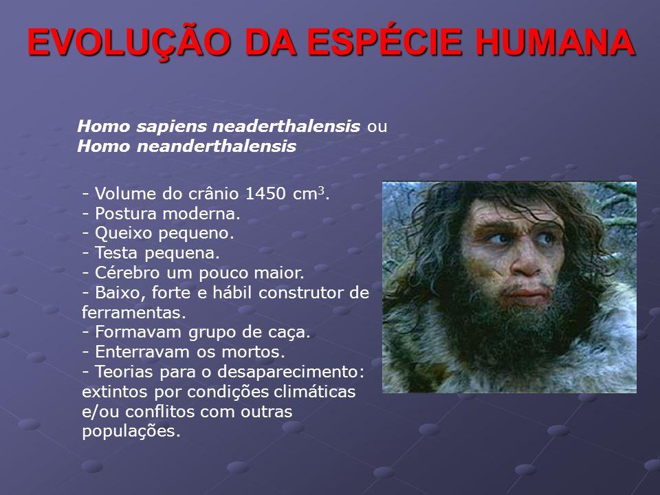 Homo sapiens neaderthalensis ou Homo neanderthalensis - Volume do crânio 1450 cm 3. - Postura moderna. - Queixo pequeno. - Testa pequena. - Cérebro um