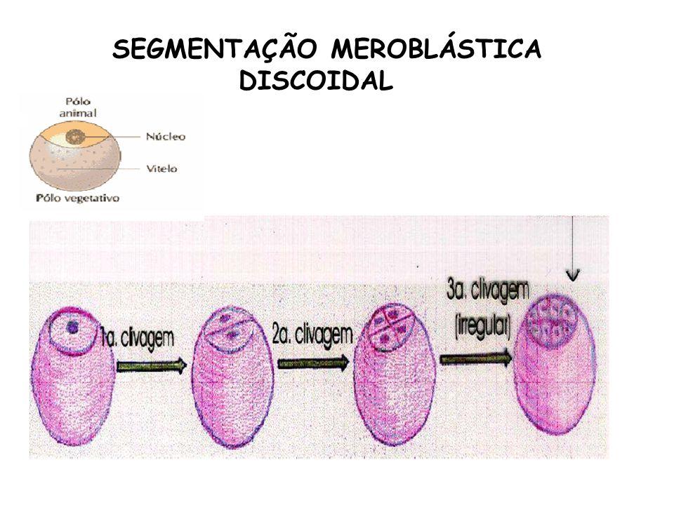 SEGMENTAÇÃO MEROBLÁSTICA DISCOIDAL