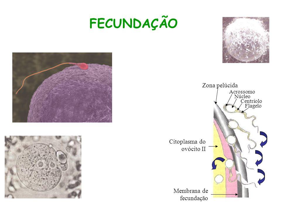 FECUNDAÇÃO Zona pelúcida Acrossomo Núcleo Centríolo Flagelo Citoplasma do ovócito II Membrana de fecundação