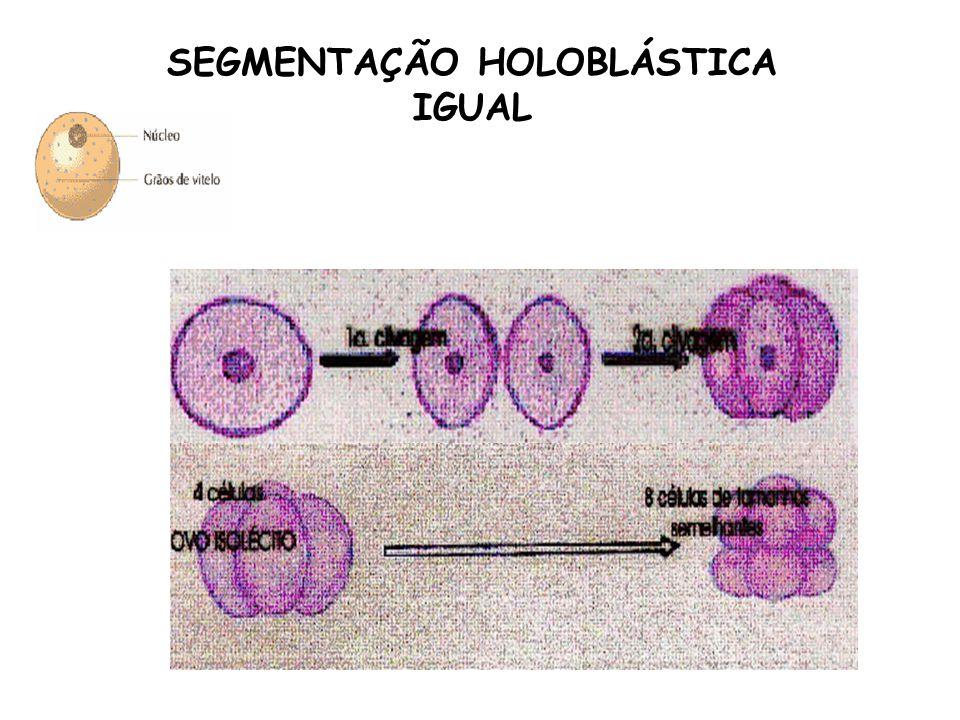 SEGMENTAÇÃO HOLOBLÁSTICA IGUAL