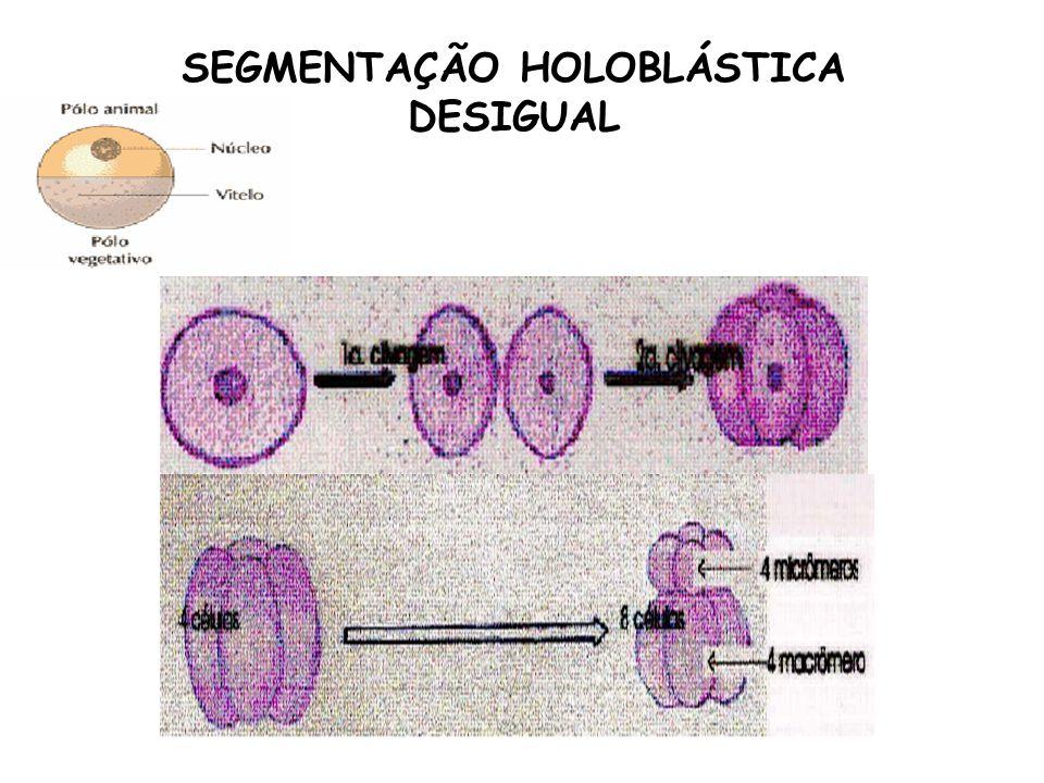 SEGMENTAÇÃO HOLOBLÁSTICA DESIGUAL