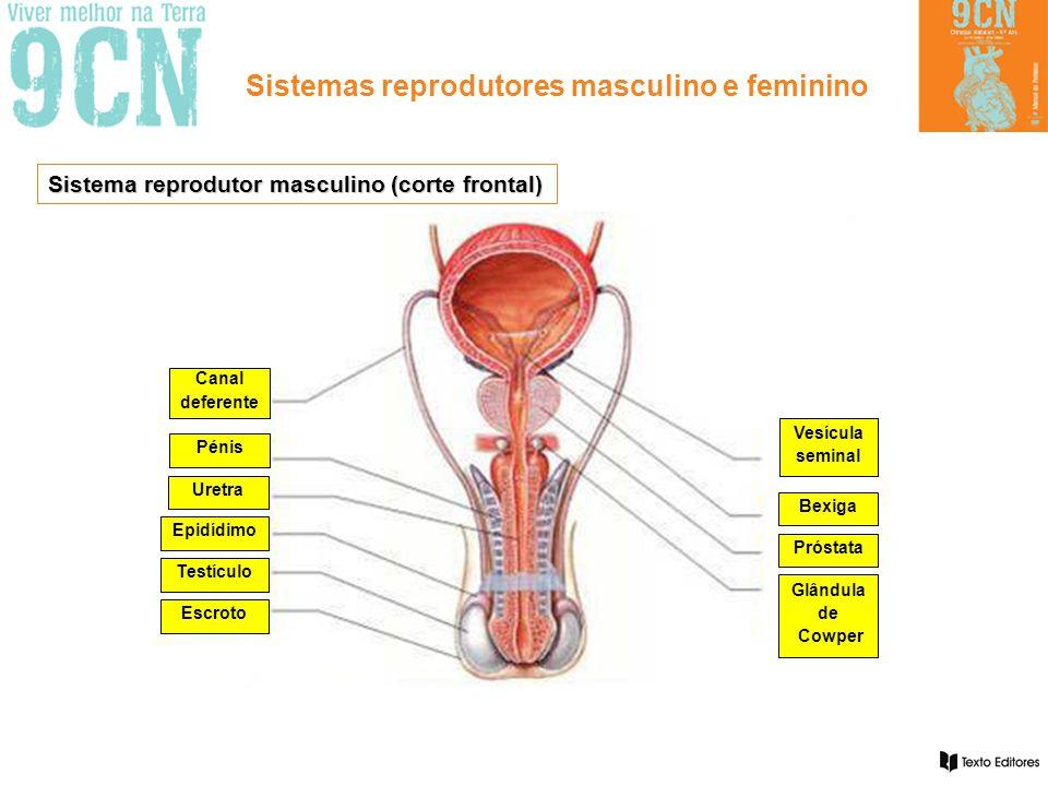 Sistemas reprodutores masculino e feminino Morfologia e funções específicas: TipoDesignaçãoFunção Gónodas ou glândulas sexuais Testículos Produção de espermatozóides e de hormonas.