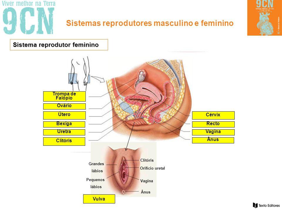 Sistemas reprodutores masculino e feminino Sistema reprodutor feminino Trompa de Falópio Ovário Útero Bexiga Uretra Clitóris Cérvix Recto Vagina Ânus