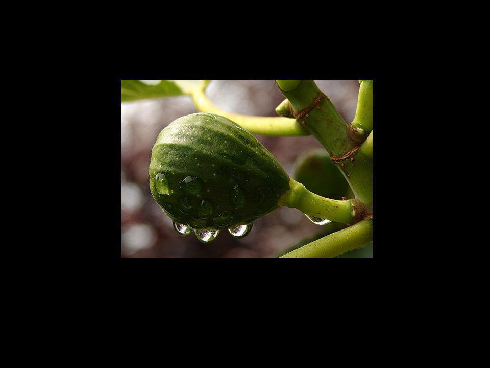 ...possamos oferecer-Lhe os frutos do nosso espírito, os figos da nossa alma...