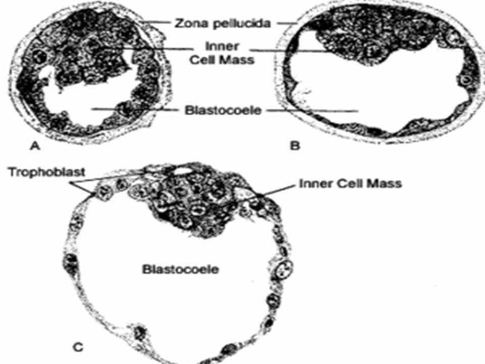 Blastocisto  Estágio de desenvolvimento da blástula dos mamíferos, constituído por uma camada interna de células que origina o embrião propriamente d