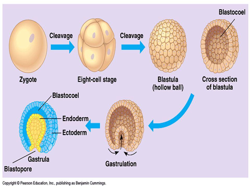 Gástrula  Remodelação da massa celular que definirá o plano corporal do animal  Ocorre a invaginação de um dos pólos  Forma-se o arquêntero e o bla