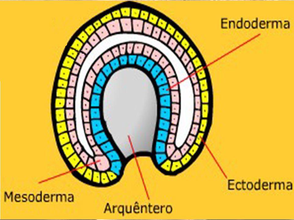 arquêntero (intestino primitivo) ectoderma mesentoderma blastóporo