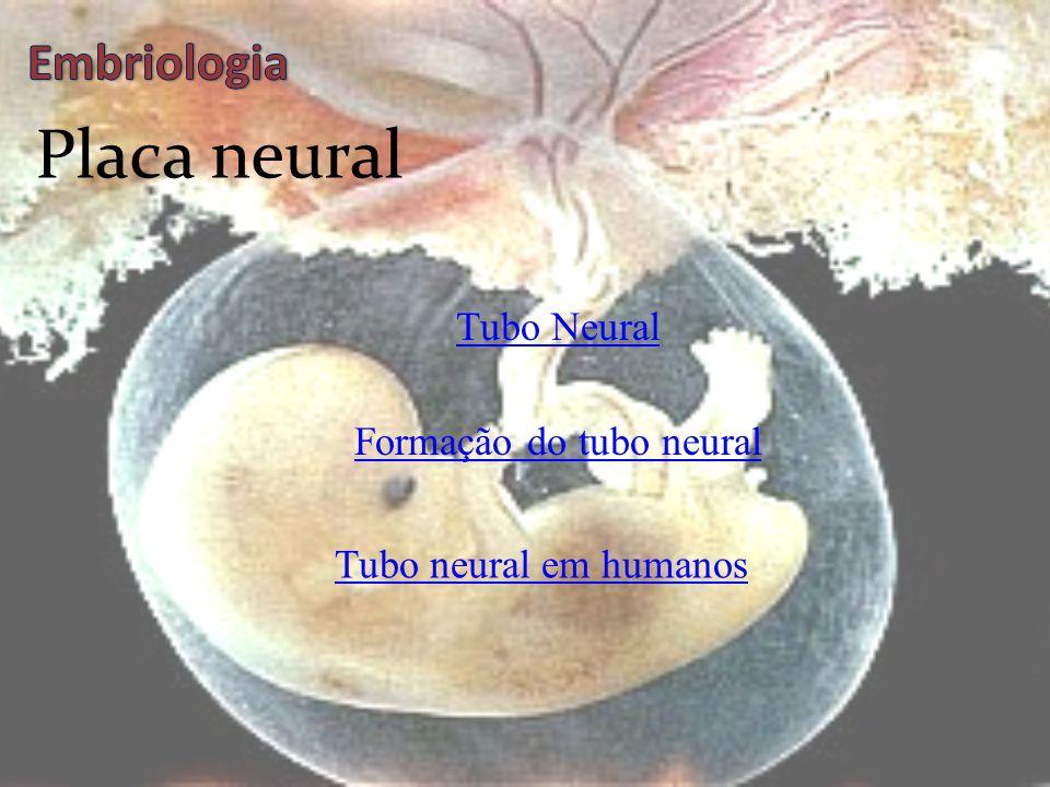 Neurulação  Formação da placa neural  Diferenciação dos folhetos germinativos  Formação dos somitos  Tubo neural se desenvolve  Formação da Notoc