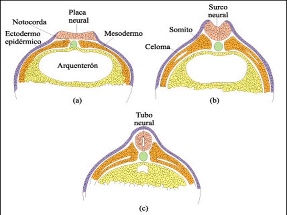Placa neural Tubo Neural Formação do tubo neural Tubo neural em humanos