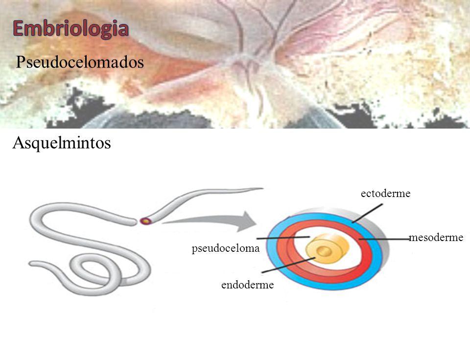  Quanto ao celoma, os animais podem ser: Acelomados ectoderme mesoderme endoderme Platelmintos