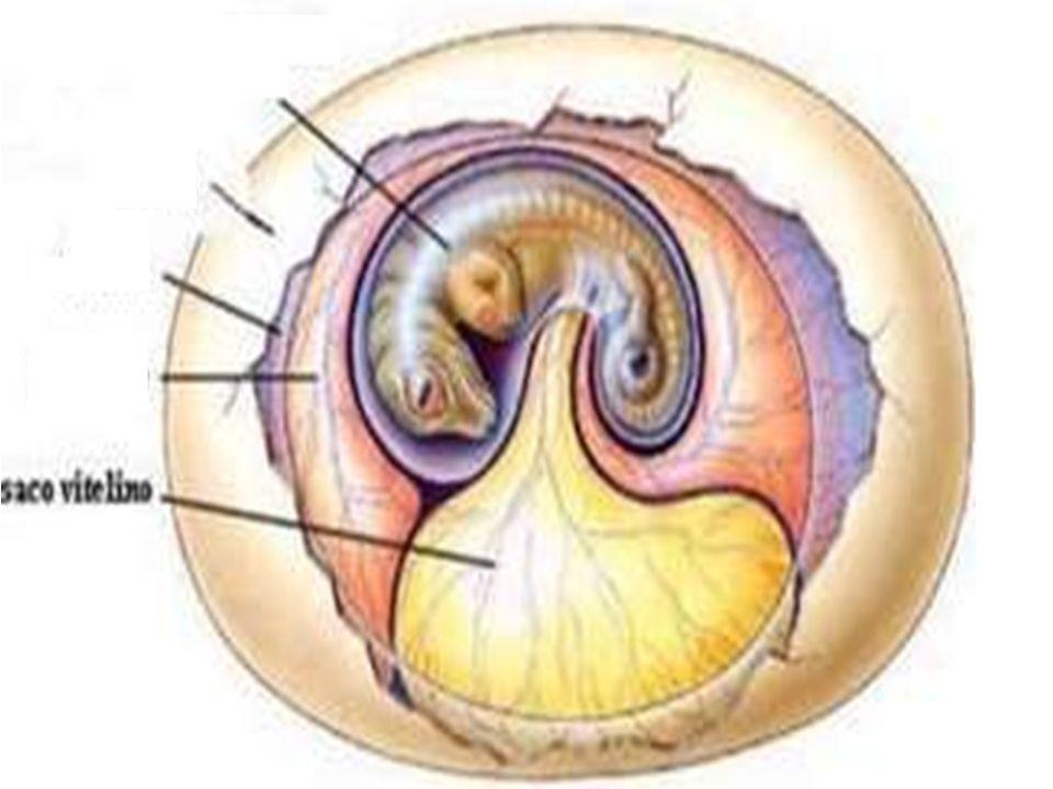 Anexos Embrionários  Estruturas que participam na formação do embrião (membranas) Saco vitelínico  Primeiro anexo a ser formado  Bolsa que envolve