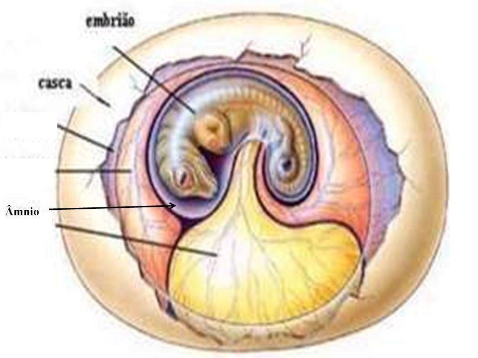 Âmnio  Presente em répteis, aves e mamíferos  Envolve o embrião em uma bolsa contendo o líquido amniótico  Protege o embrião contra a dessecação, c