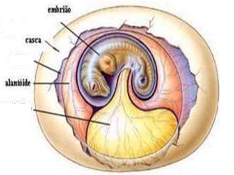Alantóide  Presente em répteis, aves e mamíferos  É percorrido por vasos sanguíneos  Realiza a hematose em répteis e aves  Nos mamíferos placentár