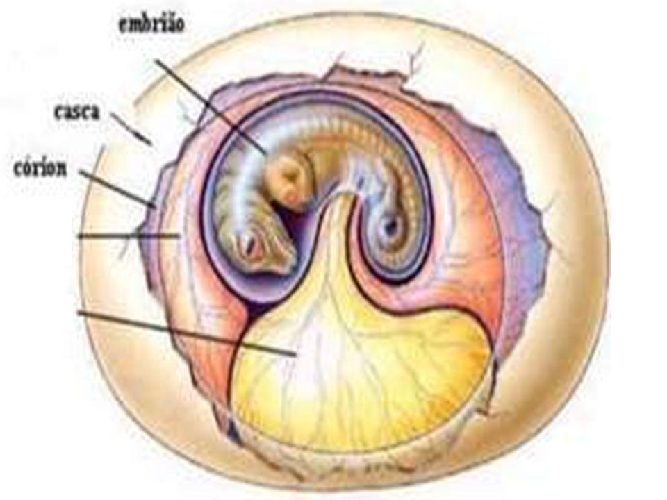 Cório (serosa)  Presente em répteis, aves e mamíferos  Membrana que envolve todo o embrião e os outros anexos embrionários  Nos mamíferos forma o a