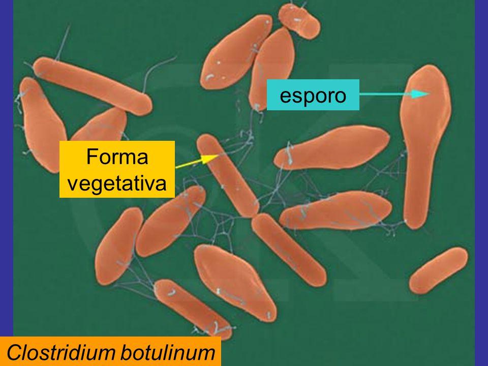 Clostridium botulinum Forma vegetativa esporo