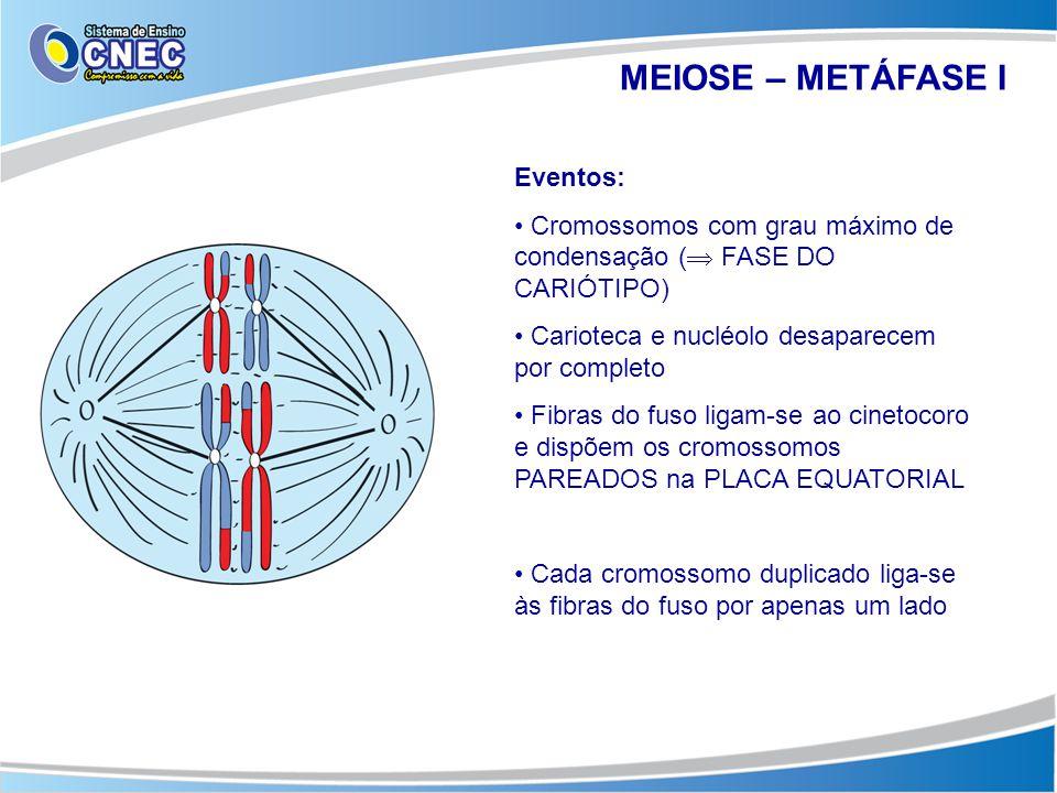 MEIOSE – METÁFASE I Eventos: • Cromossomos com grau máximo de condensação (  FASE DO CARIÓTIPO) • Carioteca e nucléolo desaparecem por completo • Fib