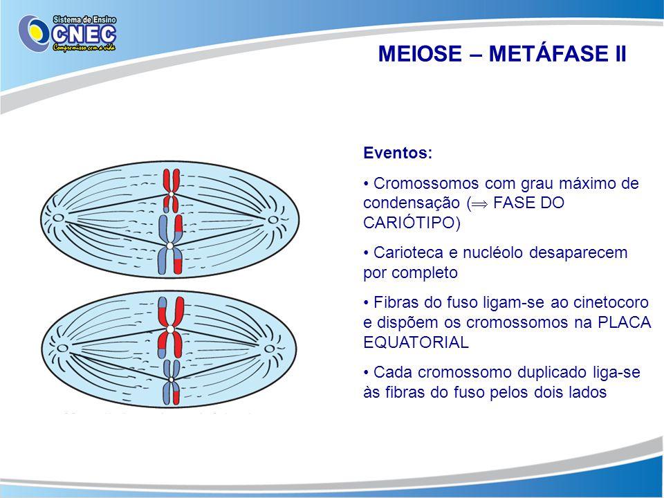 MEIOSE – METÁFASE II Eventos: • Cromossomos com grau máximo de condensação (  FASE DO CARIÓTIPO) • Carioteca e nucléolo desaparecem por completo • Fi