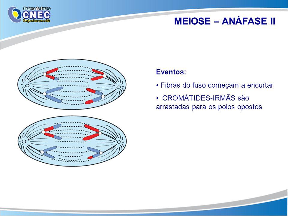 MEIOSE – ANÁFASE II Eventos: • Fibras do fuso começam a encurtar • CROMÁTIDES-IRMÃS são arrastadas para os polos opostos