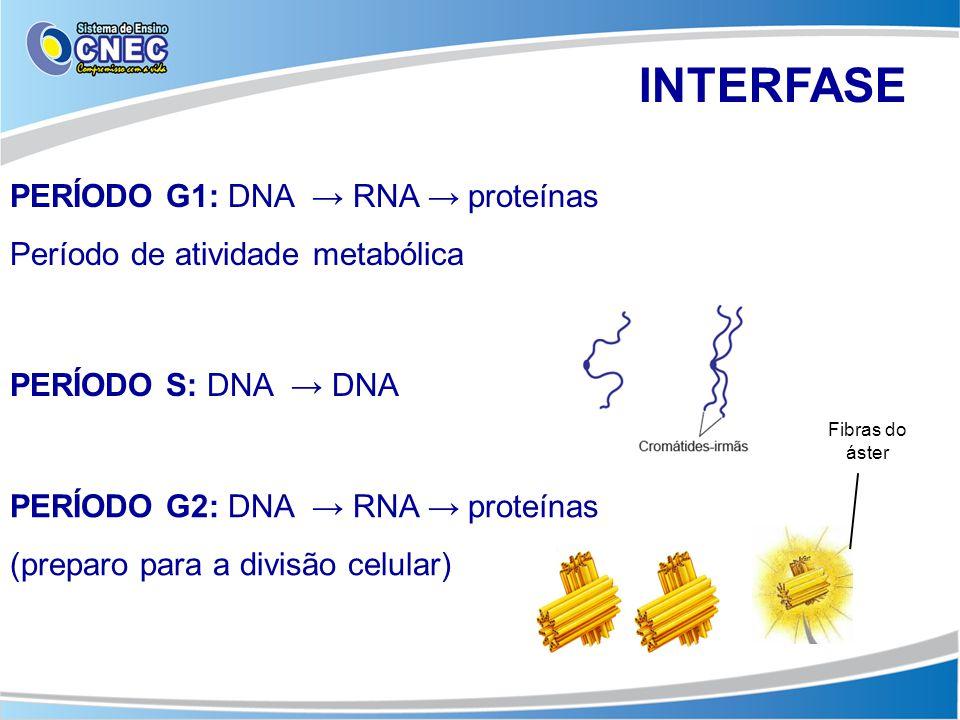 INTERFASE PERÍODO G1: DNA → RNA → proteínas Período de atividade metabólica PERÍODO S: DNA → DNA PERÍODO G2: DNA → RNA → proteínas (preparo para a div