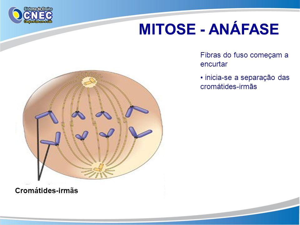 MITOSE - ANÁFASE Fibras do fuso começam a encurtar • inicia-se a separação das cromátides-irmãs Cromátides-irmãs