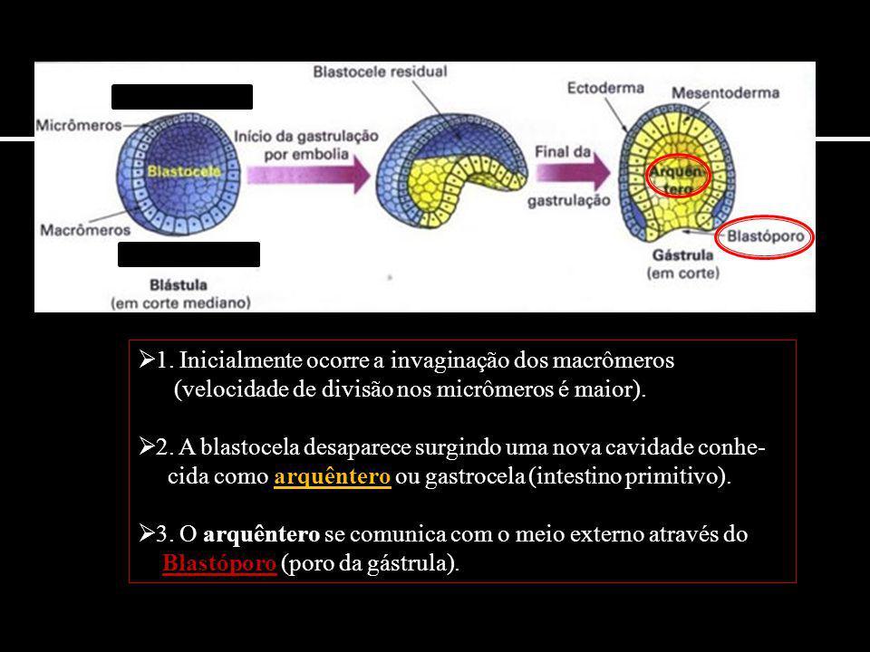  1. Inicialmente ocorre a invaginação dos macrômeros (velocidade de divisão nos micrômeros é maior).  2. A blastocela desaparece surgindo uma nova c