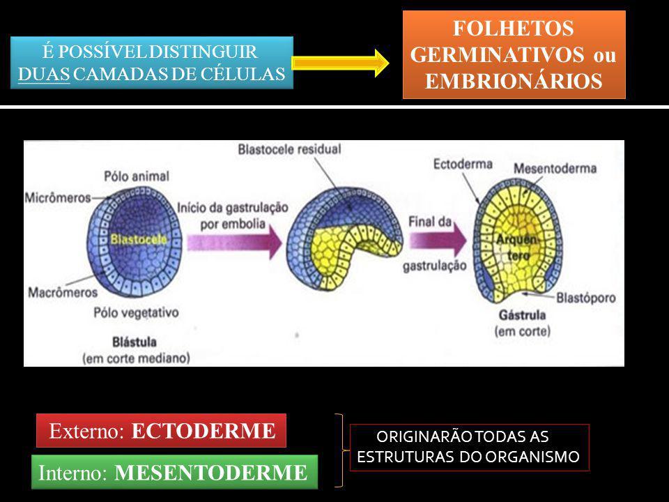 Externo: ECTODERME ORIGINARÃO TODAS AS ESTRUTURAS DO ORGANISMO Interno: MESENTODERME É POSSÍVEL DISTINGUIR DUAS CAMADAS DE CÉLULAS É POSSÍVEL DISTINGU