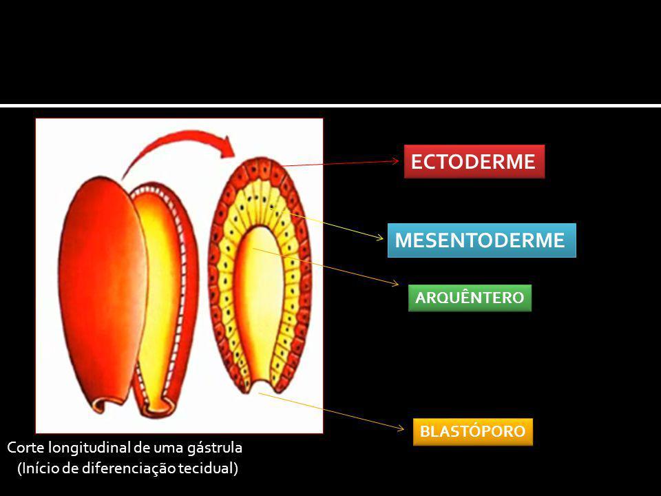 Corte longitudinal de uma gástrula ECTODERME MESENTODERME ARQUÊNTERO BLASTÓPORO (Início de diferenciação tecidual)