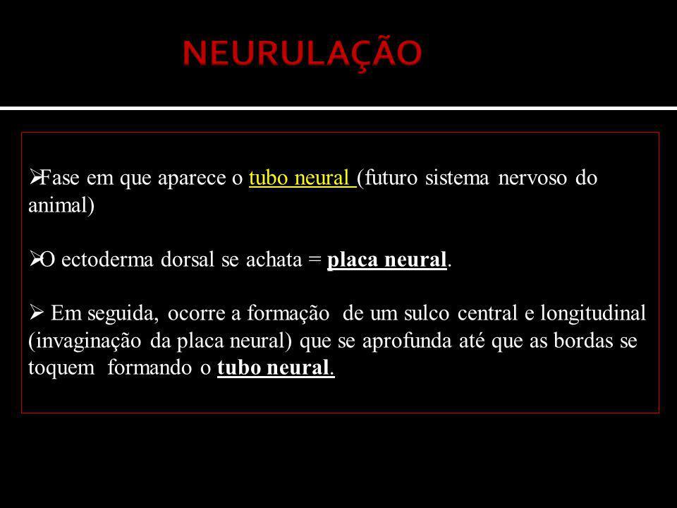  Fase em que aparece o tubo neural (futuro sistema nervoso do animal)  O ectoderma dorsal se achata = placa neural.  Em seguida, ocorre a formação