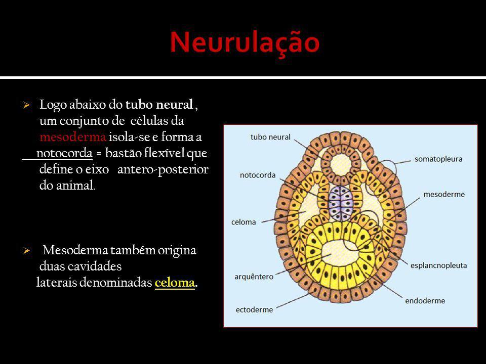  Logo abaixo do tubo neural, um conjunto de células da mesoderma isola-se e forma a notocorda = bastão flexível que define o eixo antero-posterior do