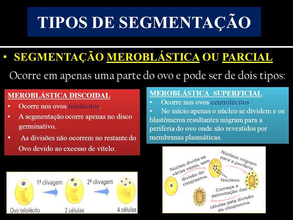 • SEGMENTAÇÃO MEROBLÁSTICA OU PARCIAL Ocorre em apenas uma parte do ovo e pode ser de dois tipos: TIPOS DE SEGMENTAÇÃO MEROBLÁSTICA DISCOIDAL • Ocorre