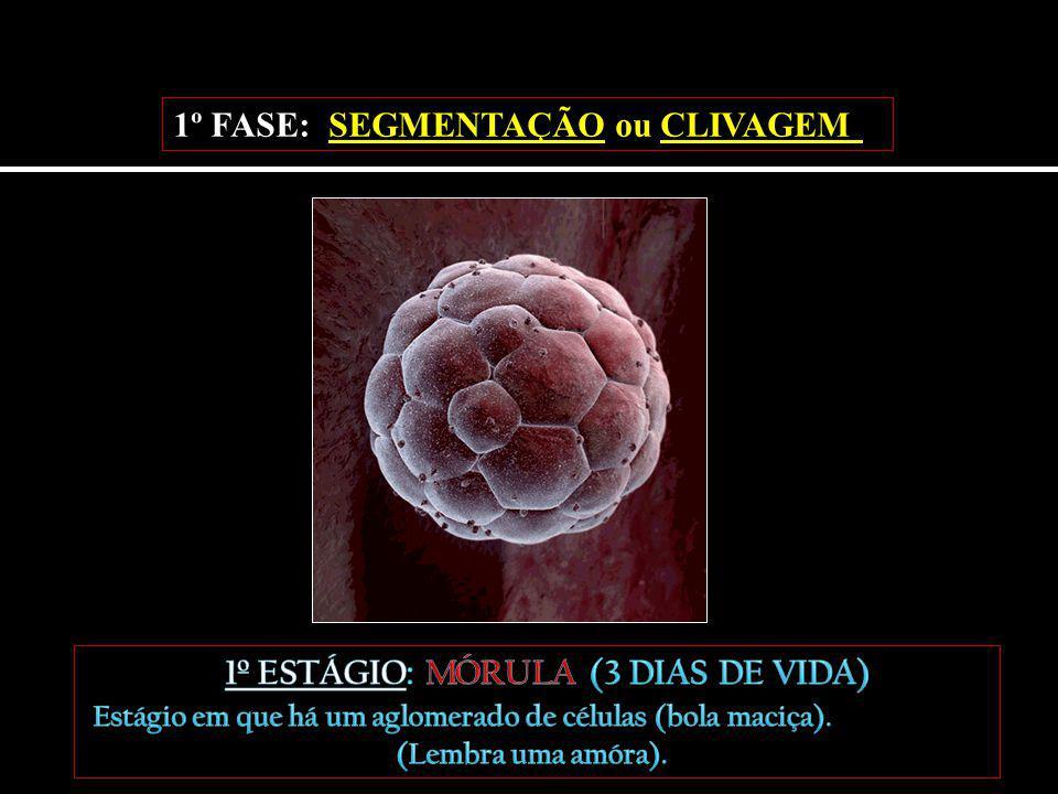 A mórula (1) começa a absorver líquido do meio, surgindo assim uma cavidade chamada blastocela.