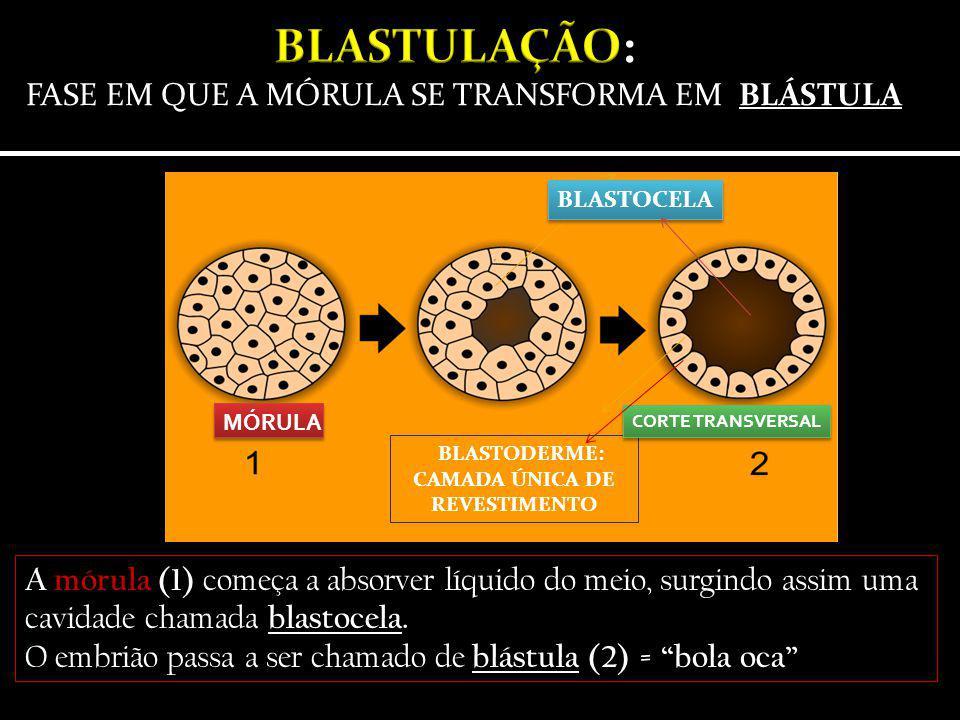 """A mórula (1) começa a absorver líquido do meio, surgindo assim uma cavidade chamada blastocela. O embrião passa a ser chamado de blástula (2) = """"bola"""