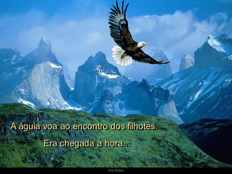 Ria Slides A águia voa ao encontro dos filhotes. Era chegada a hora....