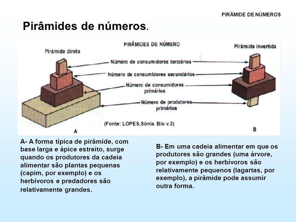 A- A forma típica de pirâmide, com base larga e ápice estreito, surge quando os produtores da cadeia alimentar são plantas pequenas (capim, por exemplo) e os herbívoros e predadores são relativamente grandes.