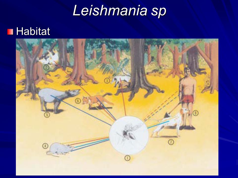 Habitat Leishmania sp