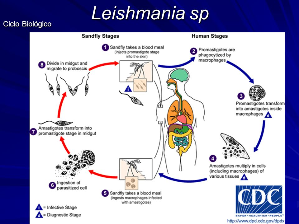 Leishmania sp Ciclo Biológico