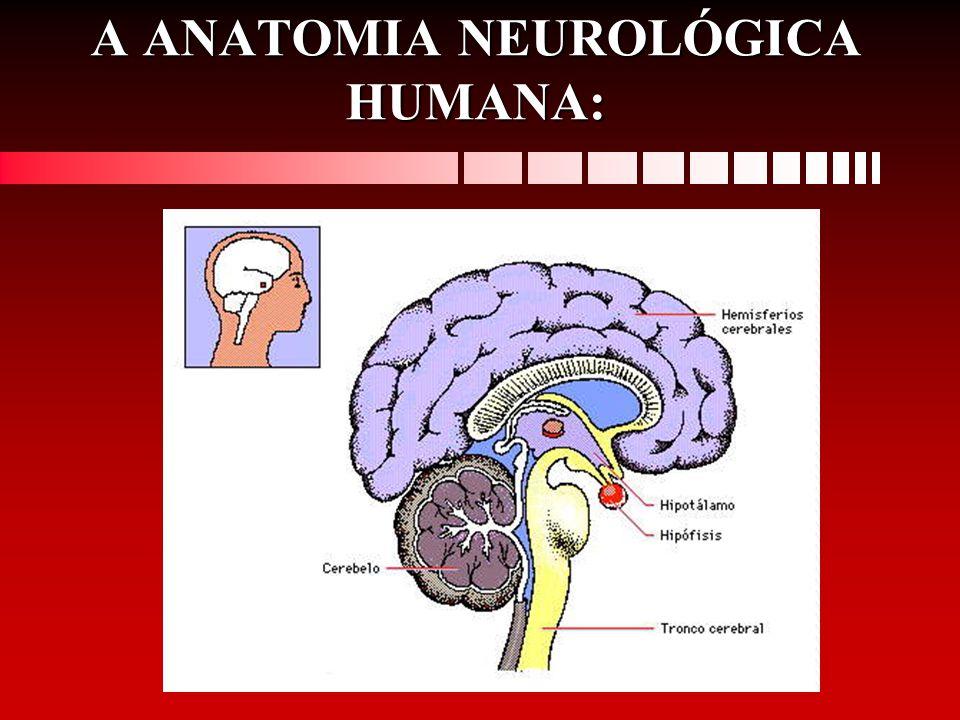 A ANATOMIA NEUROLÓGICA HUMANA: