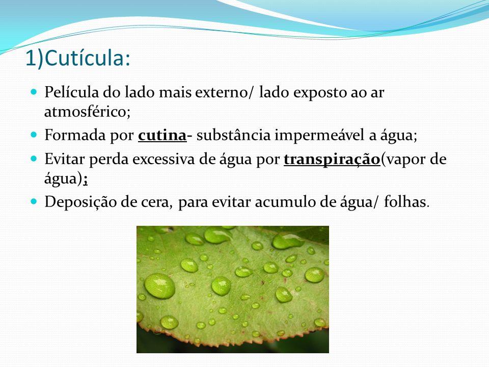1)Cutícula:  Película do lado mais externo/ lado exposto ao ar atmosférico;  Formada por cutina- substância impermeável a água;  Evitar perda excessiva de água por transpiração(vapor de água);  Deposição de cera, para evitar acumulo de água/ folhas.