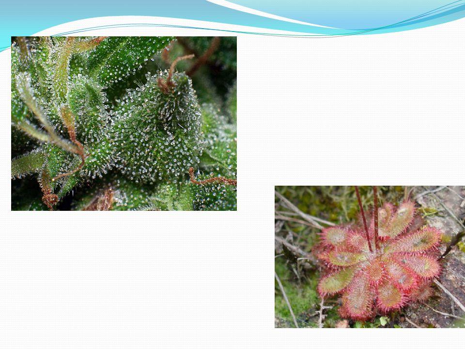 3)Papilas  Papilas: pequenas, unicelulares, geralmente relacionadas com secreção de substâncias.