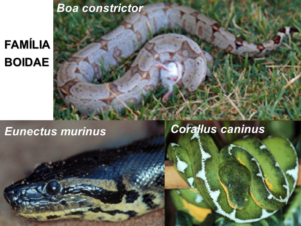 FAMÍLIABOIDAE Corallus caninus Eunectus murinus Boa constrictor