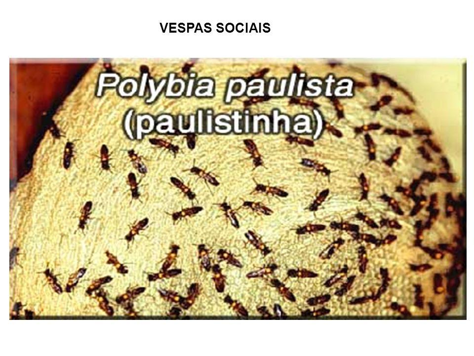 ACIDENTES COM ABELHAS E VESPAS ABELHAS: Apis mellifera (abelha africanizada) VESPAS: Polibia paulista (paulistinha), Polister versicolor (marimbondo cavalo), Stenopolybia vicina (caçununga) CONDUTA -Remoção dos ferrões – cuidado para não comprimir o ferrão -Controle da dor (meperidina – 2 mg/kg peso corporal) -Combate a reações alérgicas (aminofilina, adrenalina, corticosteróides) -Medidas gerais de suporte (manutenção do equilíbrio hidro- eletrolítico e cuidados com a insuficiência respiratória) -Complicações – (cuidados específicos contra Insuficiência respiratória, insuficiência renal aguda e choque anafilático.