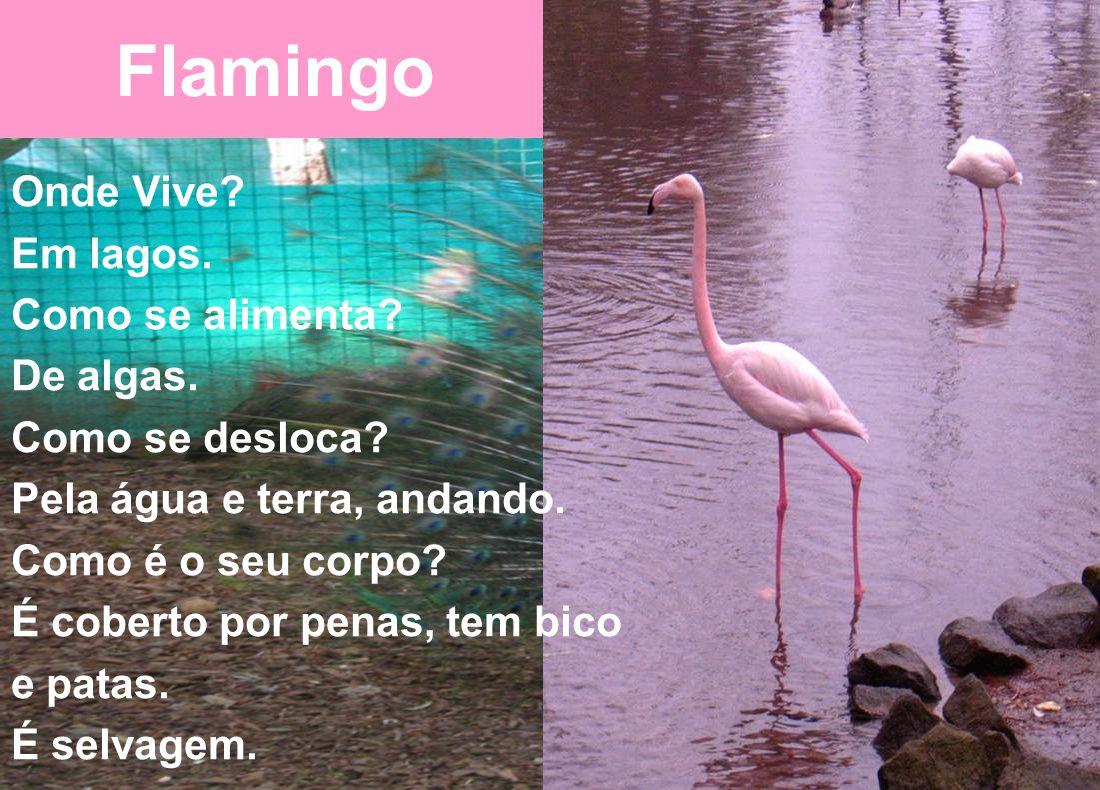 Flamingo Onde Vive.Em lagos. Como se alimenta. De algas.