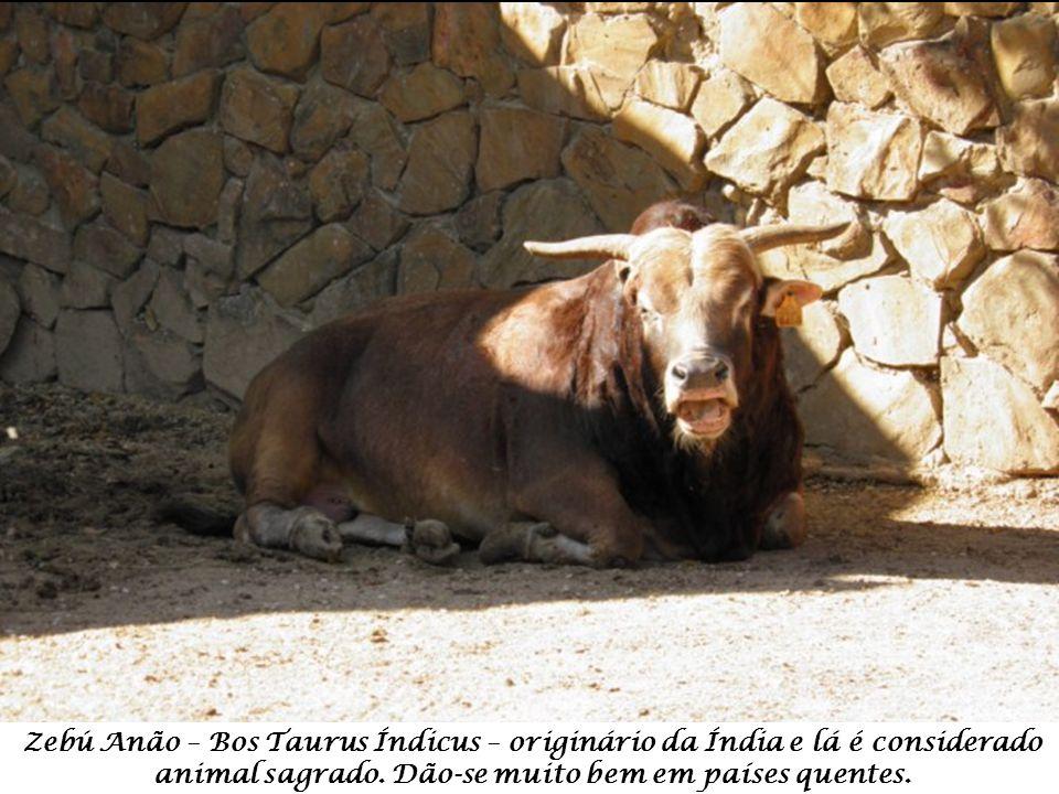 Galinha Brahma – Gallus – originária da Índia – região de Brahmaputra.