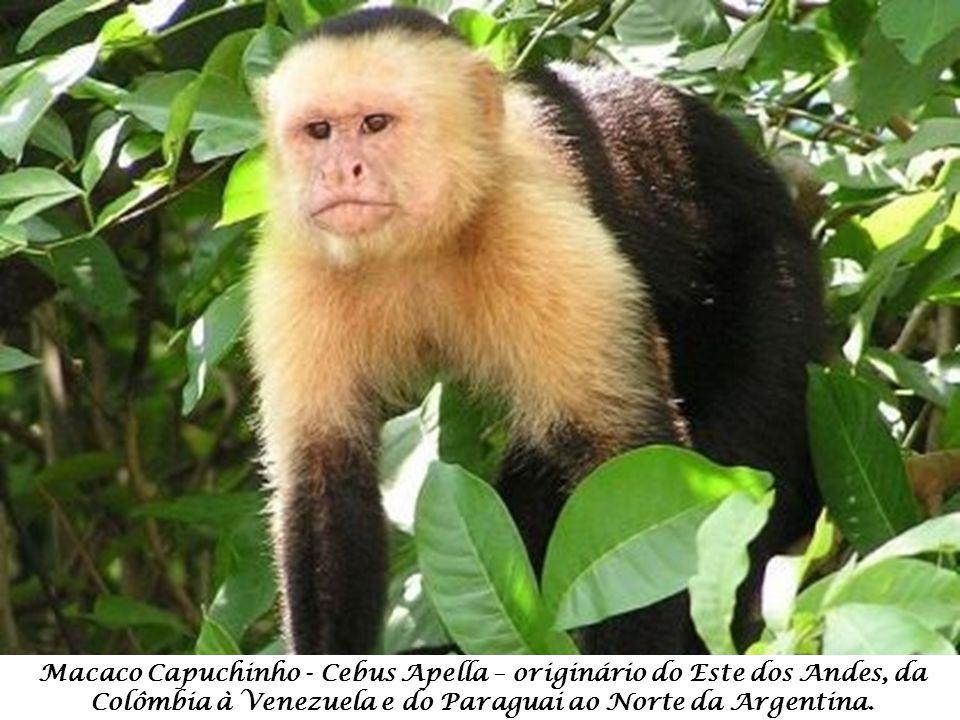 Gibão Comum – Hylobates Lar – originário do Sul e Sudoeste da Ásia (Tailândia, Malásia e Indonésia).